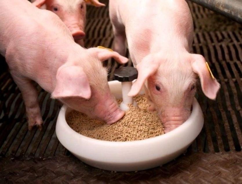 корма для свиней картинки здесь